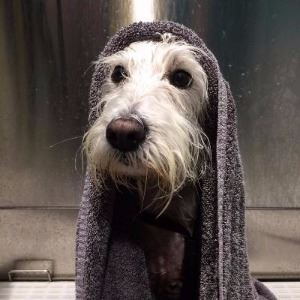 Bowser wrapped in towel at Shaggy Dog self service dog wash
