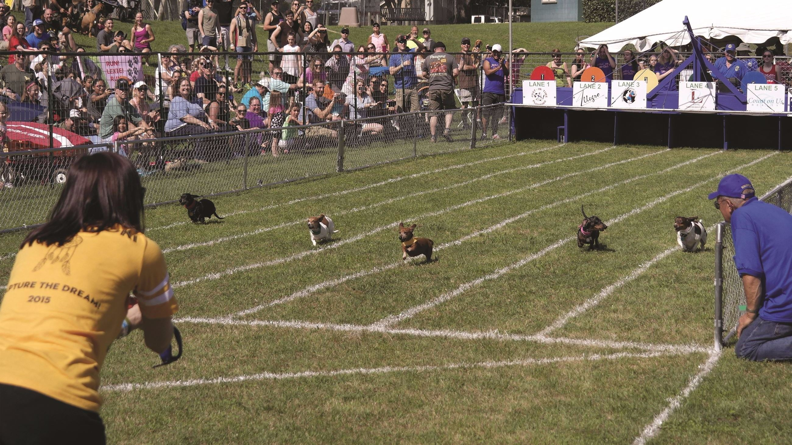 Wiener dogs racing to the finish line